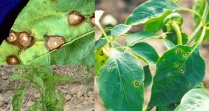 Image result for Bệnh đốm lá do Cerocospora purpurea